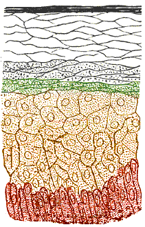 The layers of the human skin.